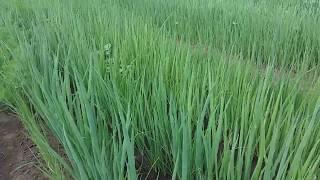 Зеленый лук - открытый грунт