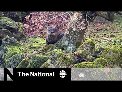 River Otter In Vancouver Park Steals Fish, And Hearts