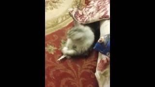 Дрессировка кошки.