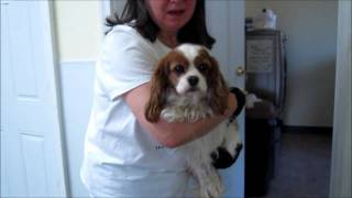 Daisy - Cavalier King Charles Spaniel - Adopted!