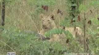 Полювання на левів у Африці. Полювання в Танзанії . 2018