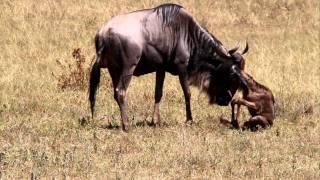 Geboorte gnoe, Ngorongoro crater Tanzania