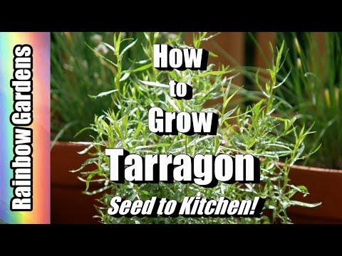How to Grow Tarragon, Seed to Kitchen! Cuttings, Care, Dishes, and More!
