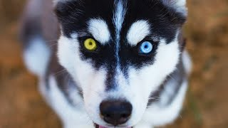 10 Siberian Husky Facts You NEED To Know