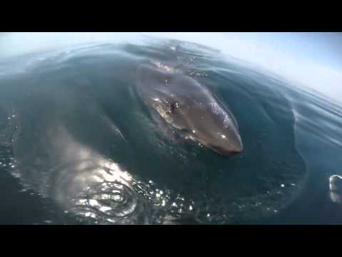 GoPro Proves Jaws Is One Giant Fish Story