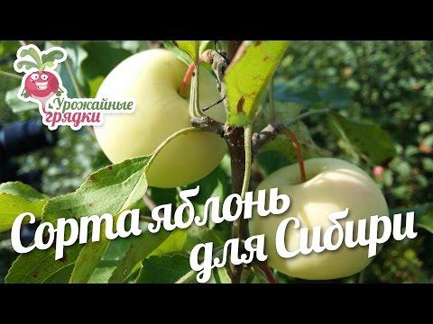 Сорта яблонь для Cибири на примере урожая #urozhainye_gryadki | колоновидные | описание | хорошие | яблонь | яблони | сортов | сибири | сорта | фото | для