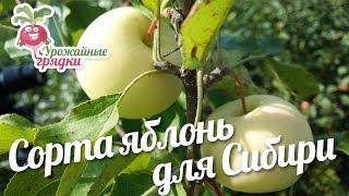 видео Сорта яблонь для Ленинградской области