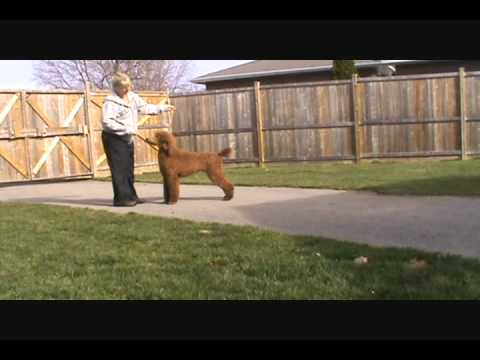 How To Train Your Dog For The Show Ring Youtube
