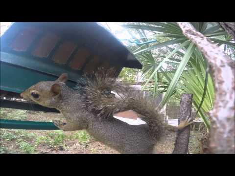Squirrel [USA 2015] I GoPro