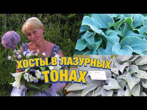 Хосты с голубыми, серыми, синими листьями, сорта, особенности агротехники