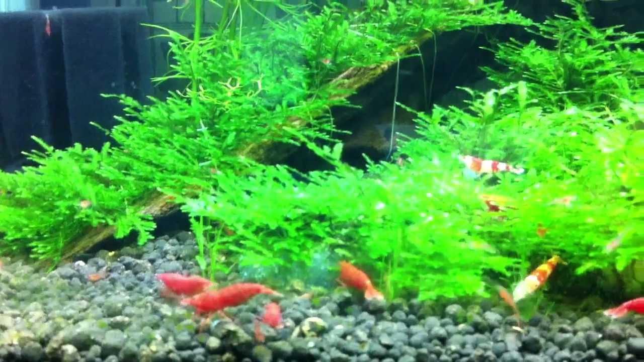 Aquarium fish tank singapore - Crs And Fire Red 1 5ft Shrimp Tank Singapore