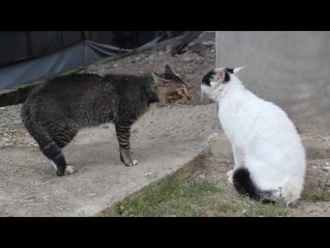 Kucing Berantam Besar Suara
