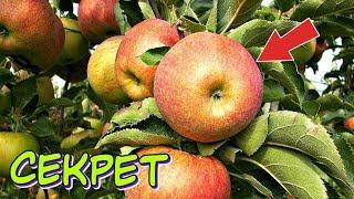 Хотите мощный урожай яблок в этом году делайте так весной! Уход за яблоней весной