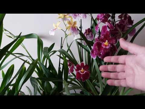 Орхидеи Мильтонии,Мильтониопсисы... или?Различия и уход.MILTONIA ORCHIDS