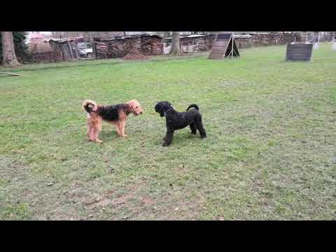 Kerry Blue Terrier (boy Ace) vs Airedale Terrier (girl Flora) - playing