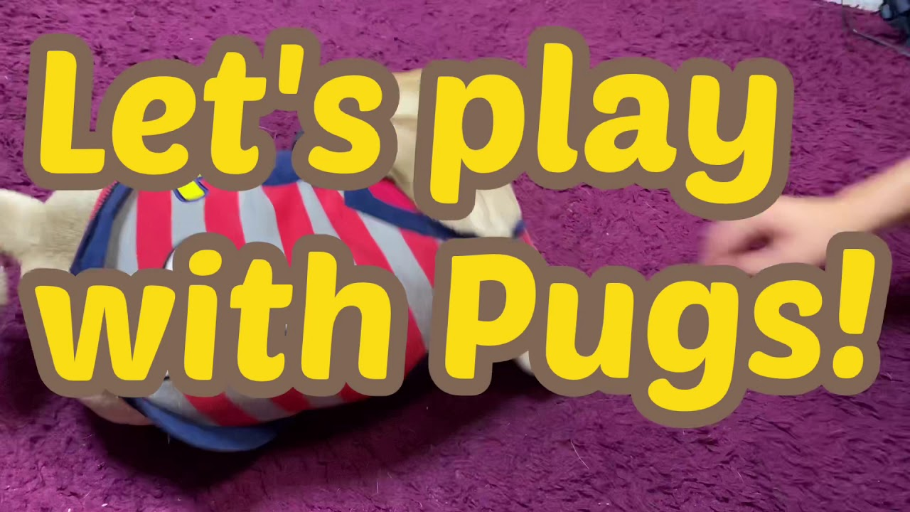 Let's play with pugs! - YouTube