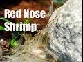 Hair algae eater! A nano tank alternative to Amano Shrimp!