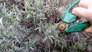 Как легко размножить  лаванду? Черенкую лаванду для укоренения.