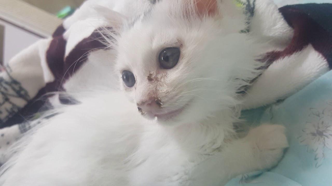 Turkish Angora Cat Kitten Short Hair D 57 3 Youtube