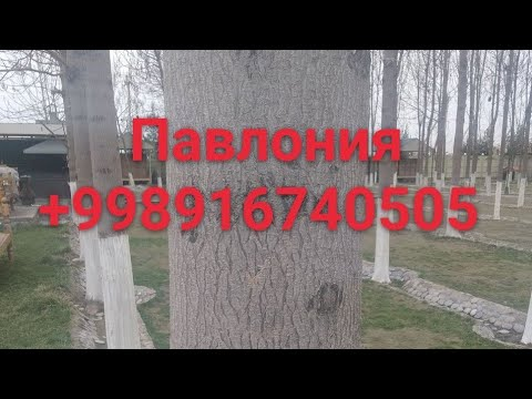 Павлония Шантон ГИБРИД +998916740505
