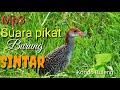 Suara Pikat Burung Sintar Sangat Jitu  Mp3 - Mp4 Download