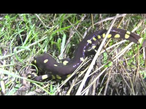 Ambystoma californiense (California tiger salamander)