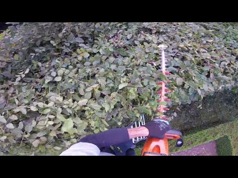 Trimming a formal Beech hedge