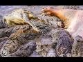 Crocodile Hippo / CROC BOSS Rips Crocodile's / Crocodile Documentary 2016
