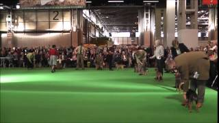 Border Terriers At Crufts 2015- Challenge For Dcc