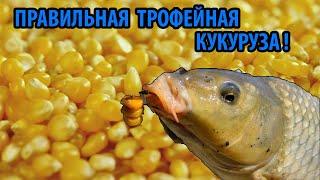 ПРАВИЛЬНАЯ кукуруза для РЫБАЛКИ Прикормка и Насадка на Карася и Карпа