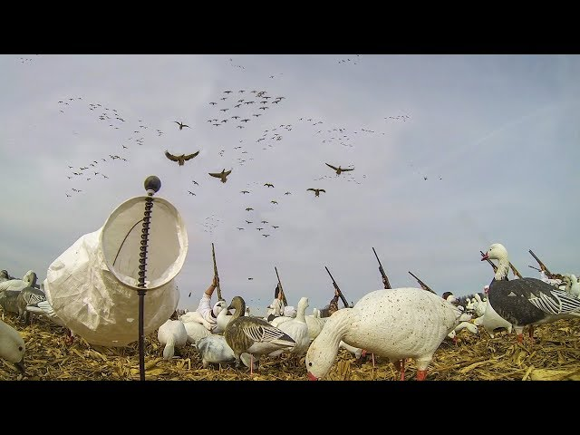 Snow Goose Hunting: