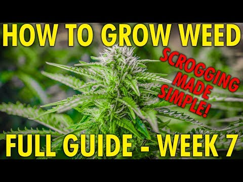 How to SCROG Made Simple – Cannabis Grow Guide Week 7