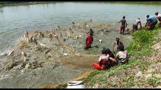Amazing Big Fish Catching Skill | Fisherman Catching lot of Big Fish with a Fishing Net (Part-03)