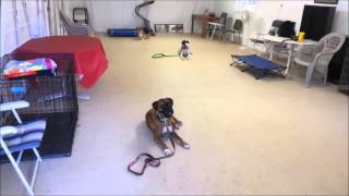 Dog Aggressive Boxer Rehab- Take The Lead K9 Training