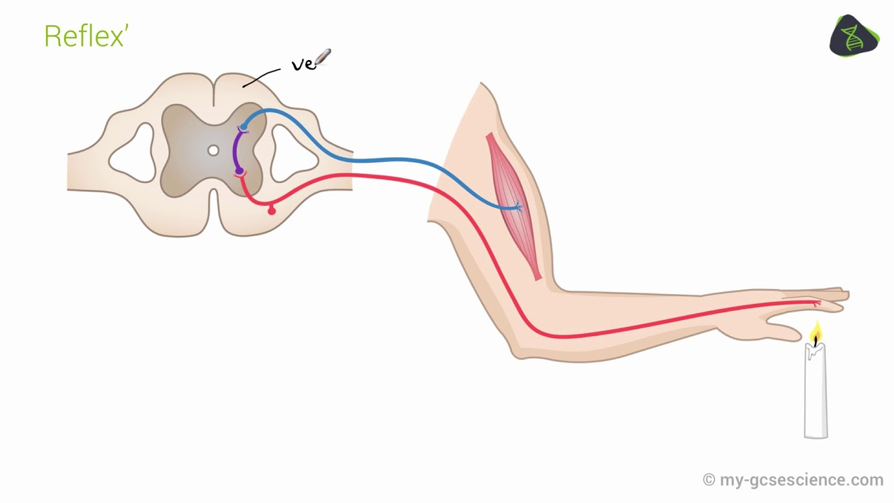 Gcse Biology The Nervous System Aqa 9 1 Youtube