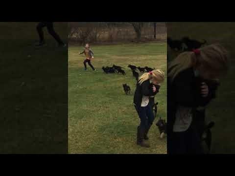 Precious German Shepherd Pups Chase Girl