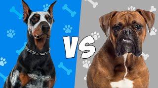 Doberman vs Boxer  Quien Gana?