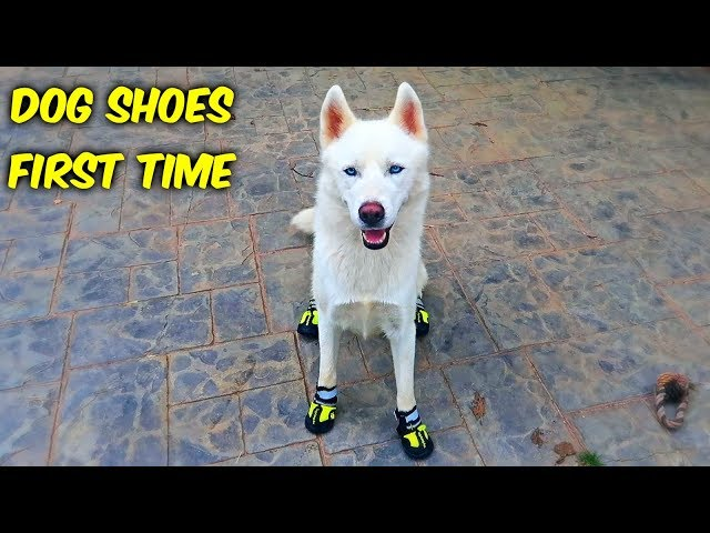 Huskies Trying Dog Shoes for the First Time! (Funny Dogs)