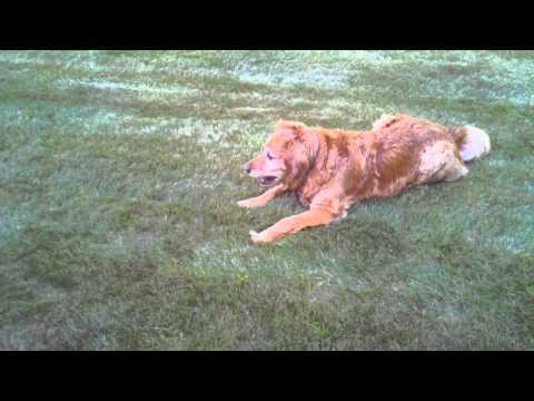 Golden retriever catching golf balls
