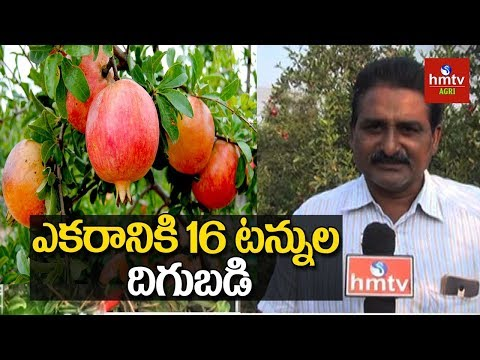Pomegrante Cultivation Tips For Natural Farming | hmtv Agri