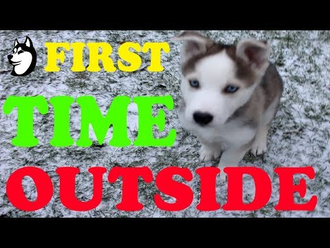 Husky Puppy's FIRST TIME IN THE SNOW: 8 Weeks Old (2017)