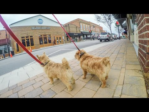 Norfolk Terriers Going Window Shopping
