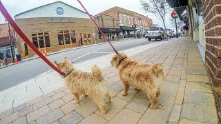 Norfolk Terriers Going Window Shopping