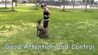 Demonstration Dog (schizo) - Einstein Dog Training - Sterling Heights, Mi