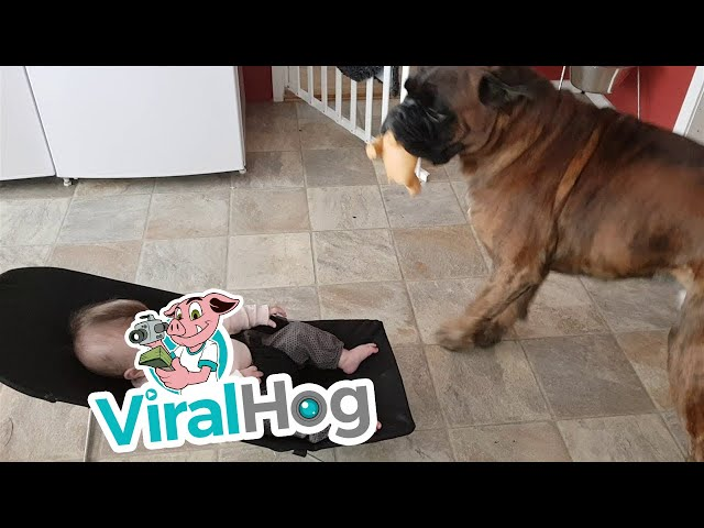 This Boxer is Her New Best Friend || ViralHog