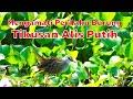 Burung Tikusan Alis Putih Penghuni Waduk Rawa Dan Sawah  Mp3 - Mp4 Download