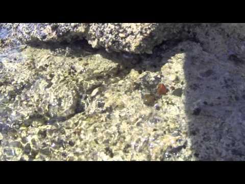 Strandkrebs - Beach Crab -  - CC BY-NC-SA Royalty Free