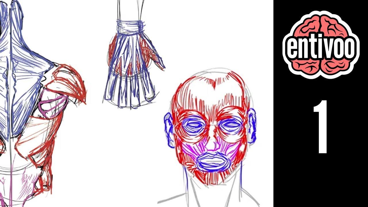 Introducción al curso de anatomía para dibujo de músculos - YouTube