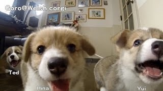 Name Of 20130713 Part 6 Cute Corgi Puppies, Puppy Wants To Eat Camera. Slow Motion / カメラを食べたいコーギー 子犬
