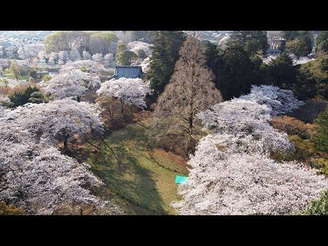 「日本さくら名所100選」清水公園内の桜 2021年